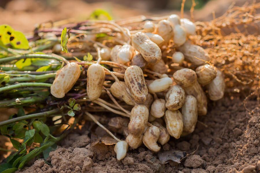 Erdnuss Anbau Ernte